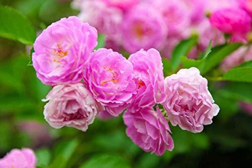 Rosa rampicante Seeds-100PCS Fiori di rose colorate Piante per giardino Casa Balcone Recinzioni Piante Decor Fiori (Rosa Rosa Seeds)