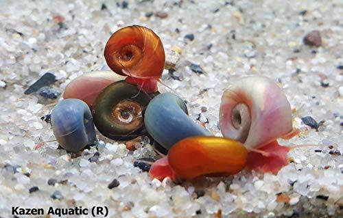 Kazen Aquatic Mix Colors ramshorn Snails. (Baby to juvinile Size 1/8