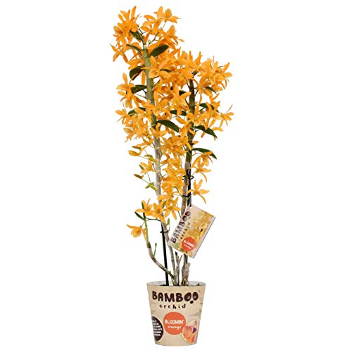 Orchidee von BAMBOO ORCHID – Bambus Orchidee – Höhe: 50 cm, 2 Triebe, orangene Blüten – Dendrobium nobile Firebird