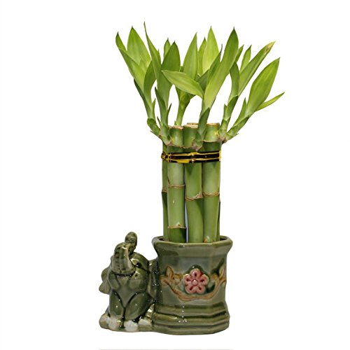 Small Lucky Bamboo Arrangement Happy Elephant Favor unique from jmbamboo