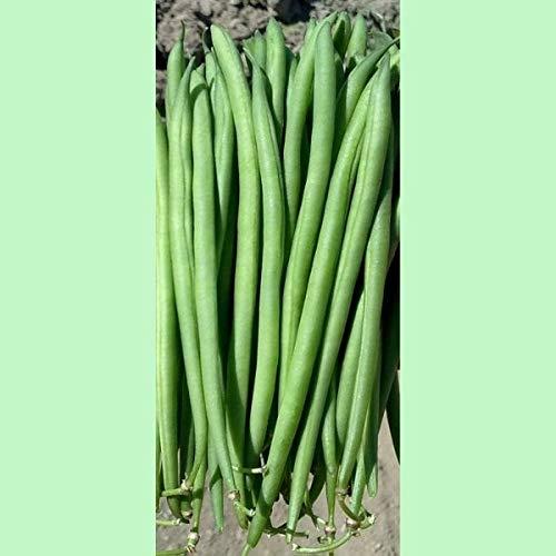 Portal Cool Kings Seeds - Nain Franã§Ais Bean Faraday - 100 graines