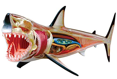 Great White Shark Anatomy Model 4D VISION Animal Anatomy Model