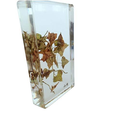 Eingebettetes Exemplar der biologischen Pflanze - Paprika/Chinesische Yamswurzel / Weide/Mungobohne Exemplarmodell - Konservierte biologische Pflanze für naturwissenschaftliche Ausbildung,Chineseyam