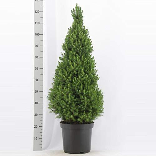 Picea glauca Conica ca. 30 cm Zuckerhutfichte Fichte