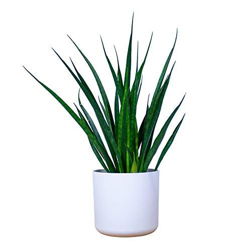 Sansevieria kirkii Friends |Compreso il vaso decorativo |Asparagaceae |Pianta da appartamento purificatore daria |Canapa |Altezza 35-40 cm |Vaso Elho Ø 16 x 15 cm