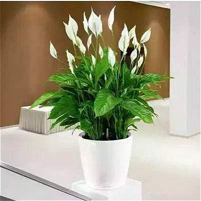 Shopmeeko 200 stücke Seltene Rosa * Grün Anthurium Bonsai Bonsai Blume Bonsai Balkon Pflanzen Blumen Töpfe Für Gartenhaus Spathiphyllum Semilla: Blau