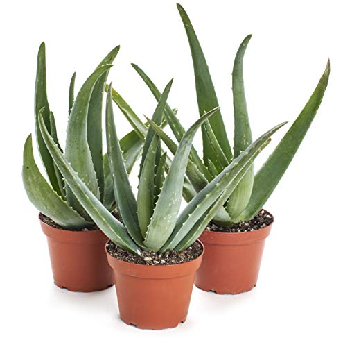 Shop Succulents | Standing Collection | Hand Selected, Air Purifying Live Aloe Vera Indoor House Plant in 4' Grow Pot, 3-Pack (4 INCH)