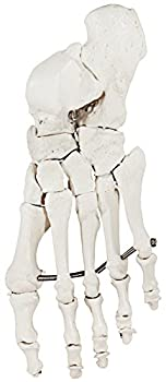Axis Scientific Skeletal Foot   Left   Fully Articulated Flexible Foot Skeleton is Secured with Quality Wire to Demonstrate Movement   Includes Product Manual   3 Year Warranty