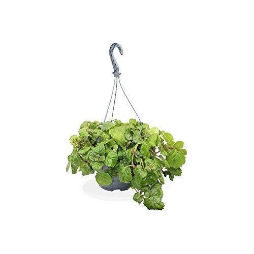 Planta del Dinero natural en maceta de Ø13cm