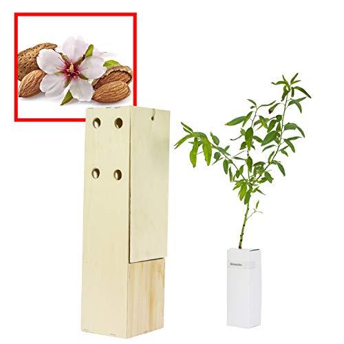 ALMENDRO. Arbolito de pequeño tamaño en caja de madera. Alveolo forestal. (1)