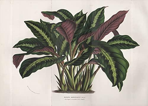 Maranta Warscewiczii - Pfeilwurze plant Latin America Botanik Botanical Botany