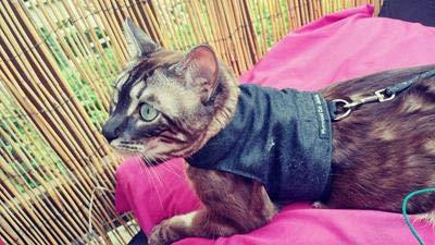 Mynwood Cat Jacket Geschirr, einfarbig, für Kätzchen oder ausgewachsene Katzen (schwarzer Denim, Kätzchen).
