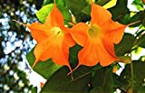 Daisy Garden 200 Pcs Flowers Seed Bright Yellow Orange Angel Trumpet Seeds Flower