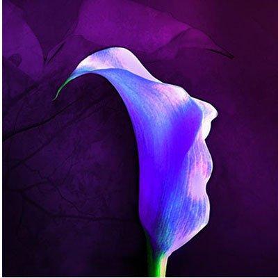 Rare Vert Calla Lily Seed pot Bonsai Balcon Fleur 20 couleurs disponibles 100 particules / lot