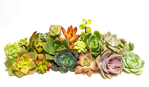 Jiimz 28 Varieties Succulent Cuttings Great for Vertical Gardens & Wreaths & Topiaries