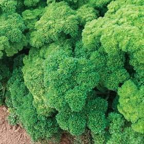 Seekay Persil Champion Mousse Frisé - 6000 Graines Herbe/Légumes