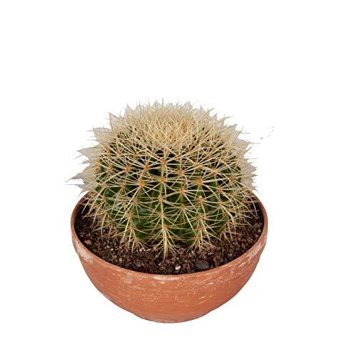 Cactus y suculento de Botanicly – Bola de oro en bol de terracota como un conjunto – Altura: 25 cm – Echinocactus Grusonii