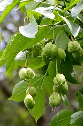 Gemeine Pimpernuss Staphylea pinnata Pflanze 45-50cm Klappernuss Nussbaum