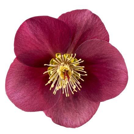 Helleborus 'Anna's Red ' rote Christrosen Schneerose oder Nieswurz 19 cm Topf winterblühend, winterharte Pflanze
