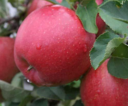 Apfel Sommerapfel Katja. Apfelbaum ca.160/180 cm, Tafelapfel