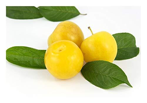 Pflaume Mirabelle (Prunus domestica subsp. syriaca) Gelbe Pflaume Eierpflaume Pflaumenbaum