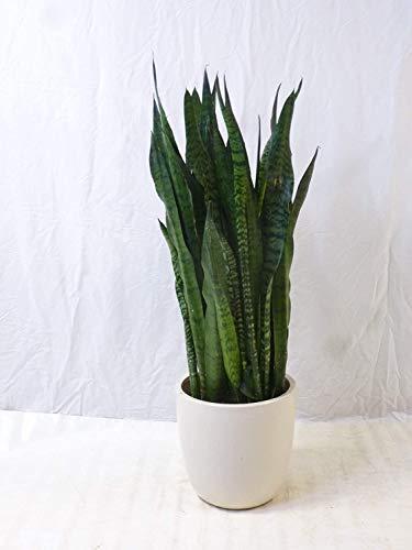 [Palmenlager] XXL Sansevieria zeylanica 130/140(!) cm - Pot 27 cm Ø - Bogenhanf - Schwiegermutterzunge/Zimmerpflanze