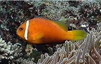【海水魚/観賞魚/スズメダイ】モルジブアネモネフィッシュ ※国産ブリード ■サイズ:4cm± (1匹)