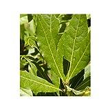 Sin marca Laurel (Maceta 19 cm Ø) - Planta Viva - Planta aromatica