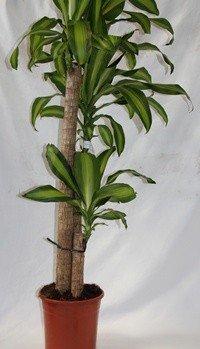Tronco del Brasil (3 troncos) - Planta viva de interior