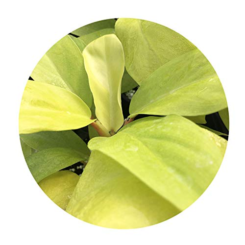 Philodendron Lemon Lime Tropical Live Plant Starter Size Neon Yellow Lime Green Leaf Houseplant Indoor Outdoor Shade 4 Inch Pot Emerald R