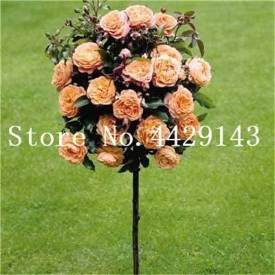 100 Stück Seltener Rosenbaum Rose Blume Mini Kletterrose Baum Mini Bonsai Blume Bonsai für Haus Rosengarten: Lila