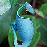 Granos de pulgas50Pcs/Sac Nepenthes Semillas Tropicales decorativas con Semillas de Plantas...