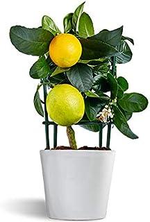 Meyer Lemon - limonero enano - cítrico de interior - planta