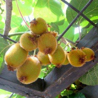 Kiwi Jenny - Actinidia chinensis 'Jenny'...