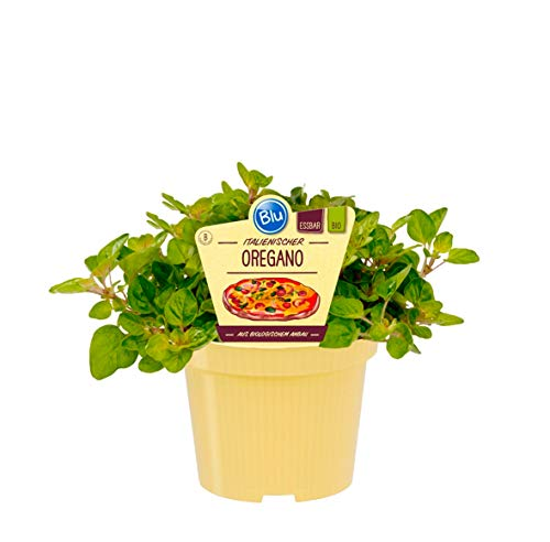 Bio Oregano (Origanum vulgare), Kräuter Pflanzen aus nachhaltigem Anbau, (1 Pflanze)