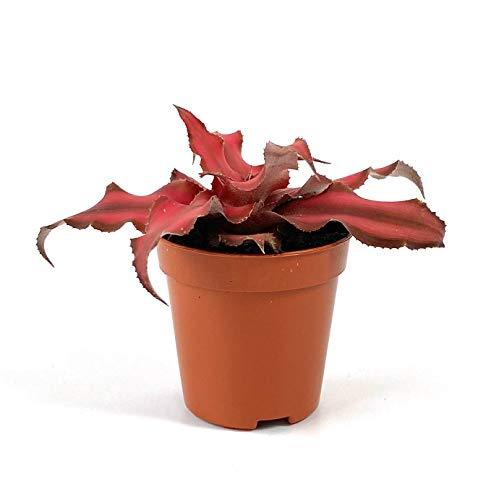 Geschlossene Terrarium Pflanzen Bonsai-Gebetspflanze Spinnenkraut Spargel Farn Kissen Moos Fittonia Freundschaftspflanze Wunderbare Jude als