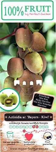 Bayern Kiwi Pflanze, (Actinidia arguta), Sorte: Mini Bayern Kiwi, kräftige winterharte Pflanze, (2er Set, 1 weibliche und 1 männliche Pflanze)