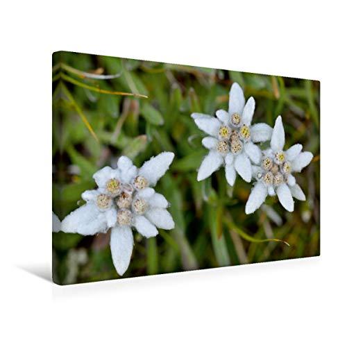 CALVENDO Premium Lienzo 45 cm x 30 cm Horizontal, Edelweiss Imagen de Pared, Imagen sobre Bastidor, Lienzo de Lienzo, impresión en Lienzo: Leontopodium alpinum Natur Natur