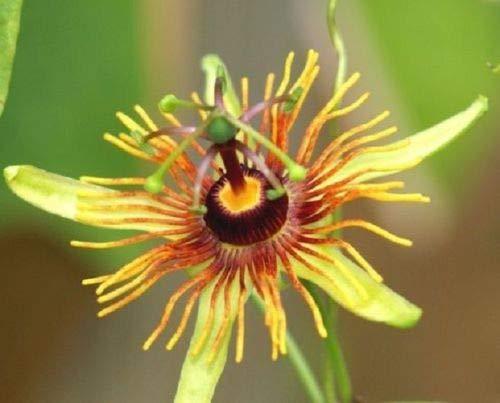 10 Rare Passion Fleur jaune Graines Passiflora Escalade Tropical Jardin Exotique