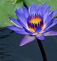 睡蓮球根選べる4色、(ビオトープ)睡蓮 温帯性睡蓮(スイレン)庭園,人気の植物今家の花多年生強い成長-紫の,20球根