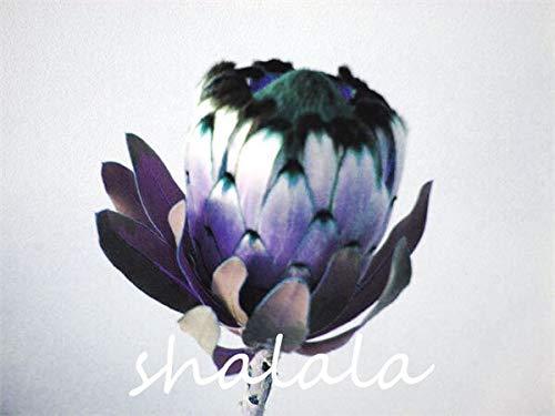 Ferry 100 Stück Frische Seltene Protea Cynaroides Bonsai Leicht Pflanz Seltene Bonsai Blume Hoch Keimungrate Hausgarten Zier: 11