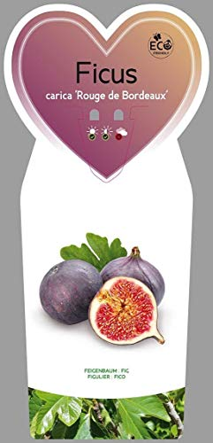 Feige 3 Stück Rouge de Bordeaux Ficus carica winterhart essbare Früchte