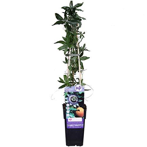 Winterharte Passionsblume Passiflora caerulea 60-70 cm - exotische Schönheit - mehrjährige Kletterpflanze