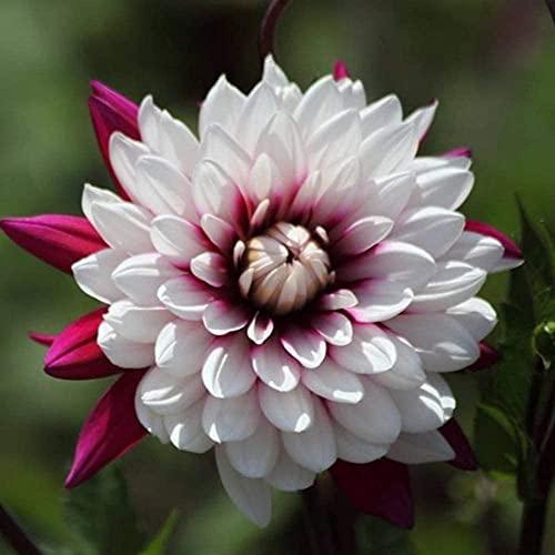 Exotische Farben 2Pcs Dahlie Glühbirnen, Frühling Blüte Pflanzen, Familie Mehrjährige Dahlie Knollen, Topf Cut Blumen, Innen Dekoration