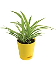 Ugaoo Chlorophytum Spider Plant with Self Watering Pot