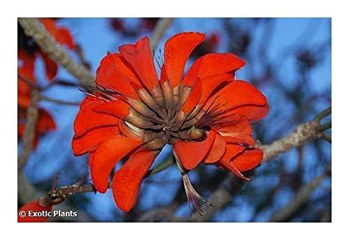 Erythrina caffra - Korallenbaum - 5 Samen