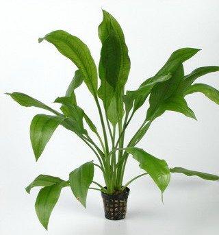 WFW wasserflora Schmalblättrige Amazonas-Schwertpflanze/Echinodorus amazonicus