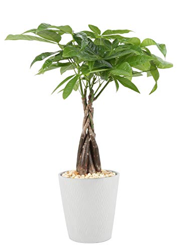Costa Farms Money Tree Pachira, Medium Ships in Premium Ceramic Planter, 16-Inches Tall, Gift