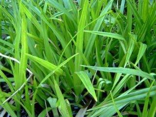 25 Filterpflanzen im Sortiment Teichpflanzen Teichpflanze Filterpflanzen - 2