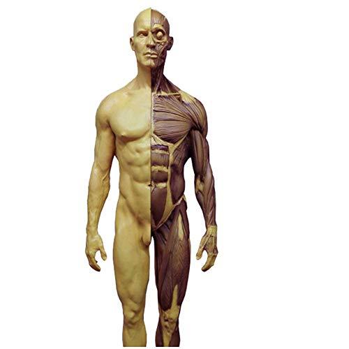 SLRMKK Anatomie des menschlichen Körpers Abbildung - 11,8 Zoll/30 cm Menschliches anatomisches Muskelknochenmodell - Anatomisches Modell des männlichen menschlichen Muskelskeletts - Referenz für Küns